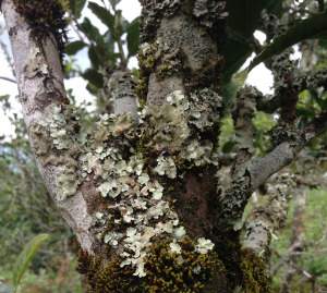 tea tree lichen