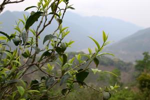 Xigui Puerh Tea Misunderstandings