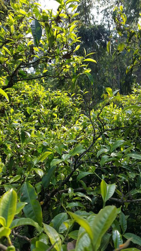 Old Arbor Puer Tea Picking