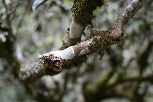 old arbor tea limb