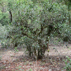 Large Puer Tree