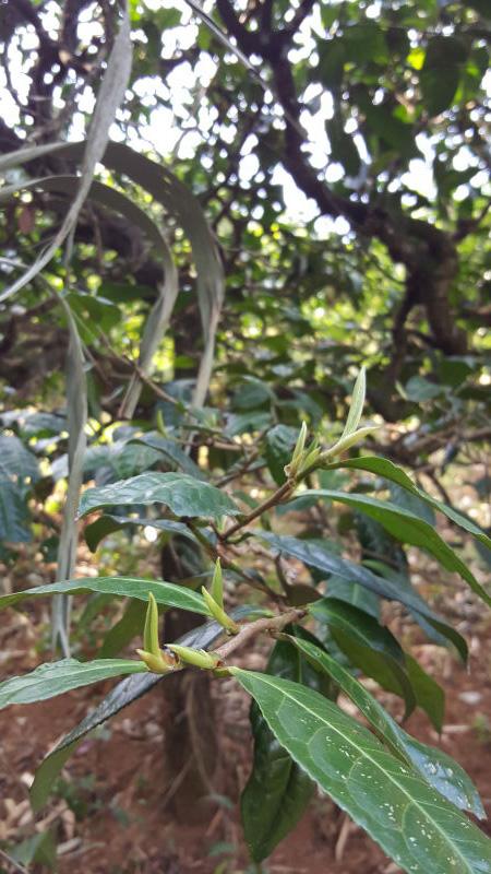 Puer Tea Buds on the Tree