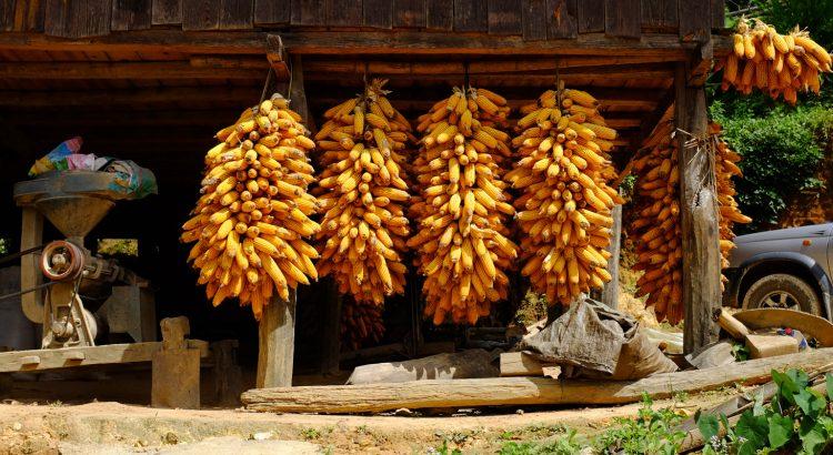 Yunnan Corn
